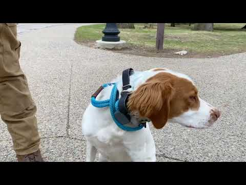 Best Dog Training Toledo, Ohio! 8 Month Old Brittany Spaniel, Toby!