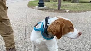 Best Dog Training Toledo, Ohio! 8 Month Old Brittany Spaniel, Toby!