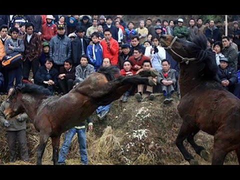 Pferde(Hengstkampf in China)