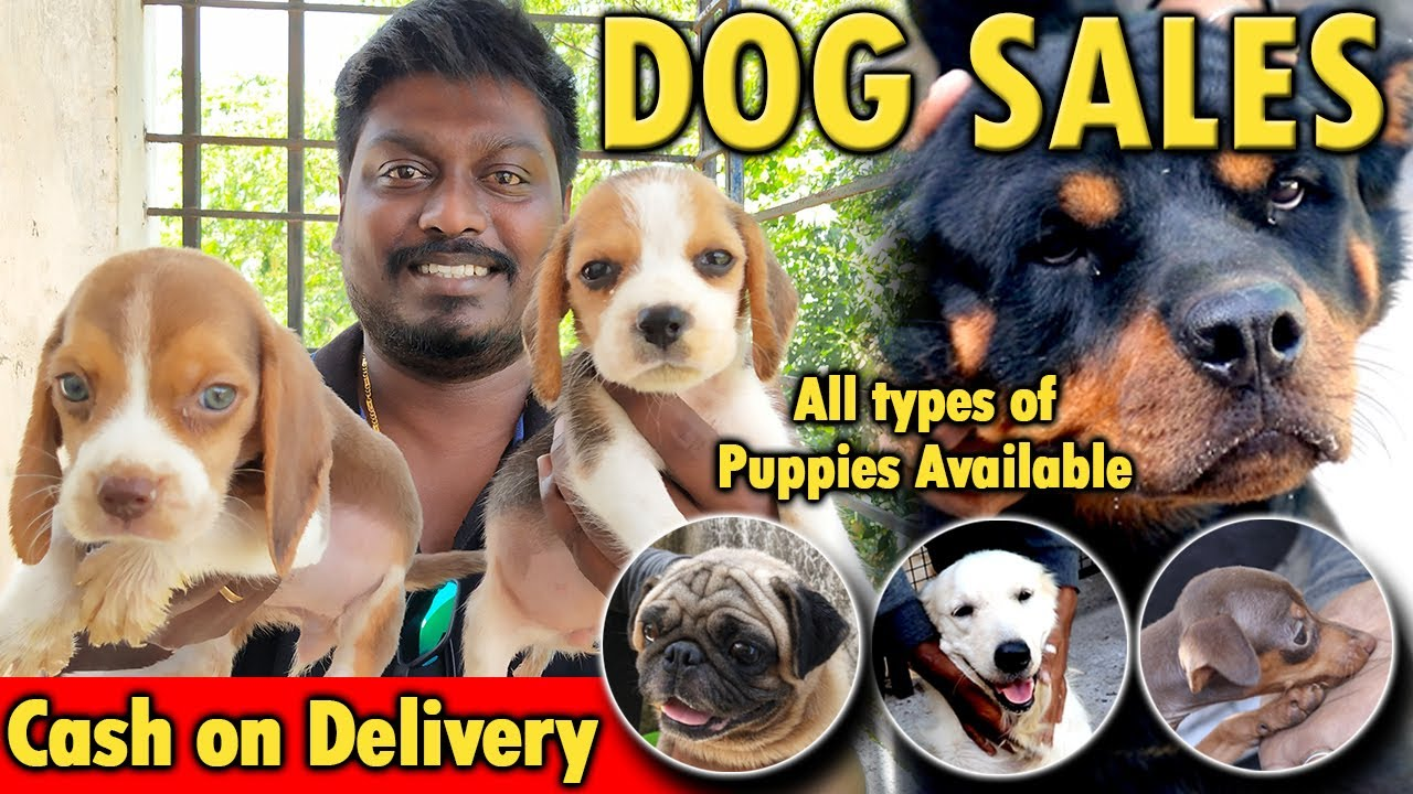 Dogs for Sales | All Puppies Available | Cash on Delivery | Dog Kennels in Chennai | Video Shop