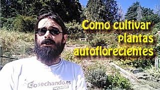 Como cultivar plantas autoflorecientes