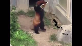 Панда и камень - ☑ Red panda and rock - ☑ 2019 ANIMATED - Funny Video