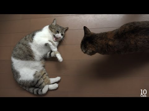 猫のケンカ(謝るたろ、許さないルル、止める猫たち) Fight of cats(Taro apologize, forgive not Lulu, cats arbitrate a quarrel)