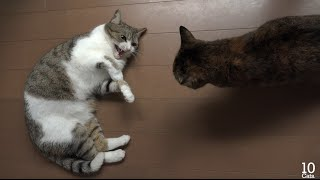 猫のケンカ(謝るたろ、許さないルル、止める猫たち) Fight of cats(Taro apologize, forgive not Lulu, cats arbitrate a quarrel) thumbnail