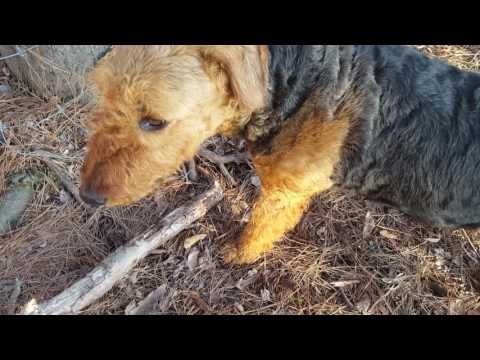 airedale-terrier-puppies-sale-video---s-&-s-family-airedales---squirrel-tree-airedales
