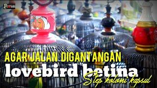 Download lagu STEP KOLONI KAPSUL : LOVEBIRD BETINA AGAR JALAN DIGANTANGAN