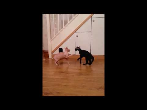 Sphynx Cat and Peterbald Cat Fight For Territory