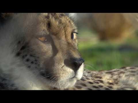 Earth Optimism: Cheetahs