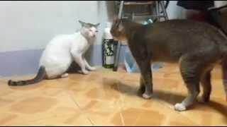 HIt CAT SEX