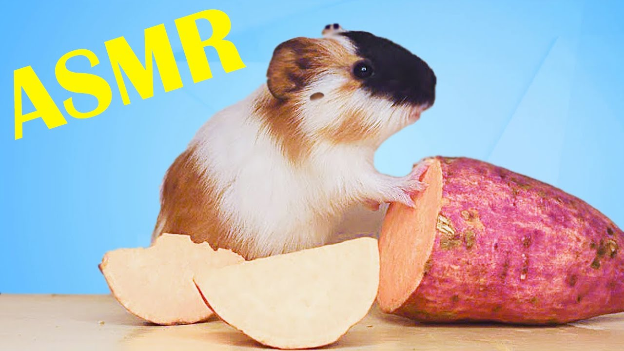 Hamster Eating Sweet Potato ASMR | Animals Cute Hamster