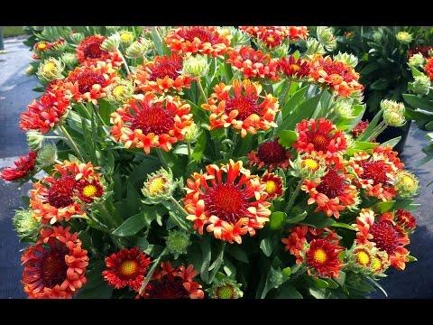 Best Perennials - Gaillardia 'Fanfare Blaze' (Blanket Flower)