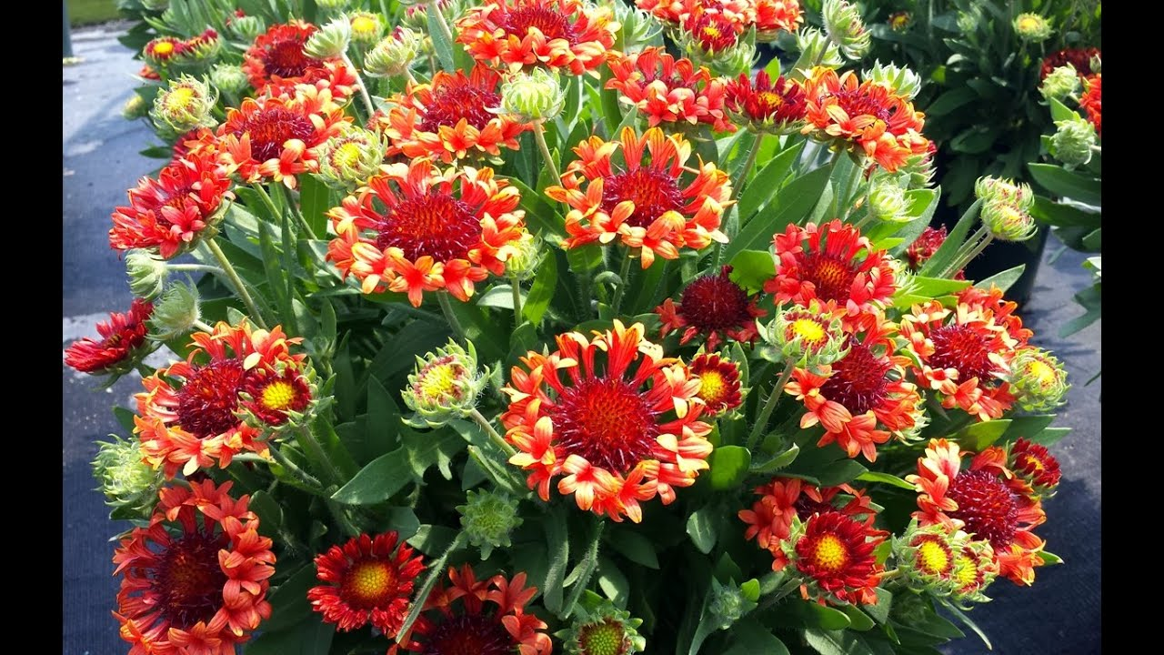 Best Perennials Gaillardia Fanfare Blaze Blanket Flower Youtube