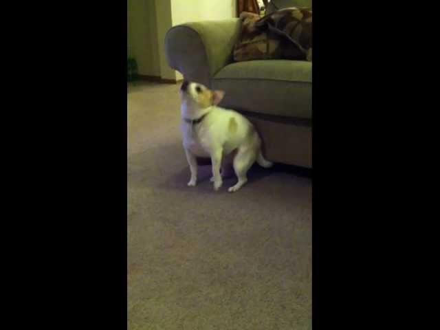 """My Dog """"Dancing"""" To Eminem """"Shake That"""""""