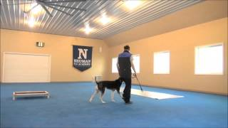 Malto (siberian Husky) Dog Training Demonstration Video