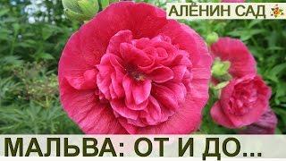 видео Выращивание плетистых роз: в домашних условиях, из черенков, из семян, когда сажать, сорта, уход