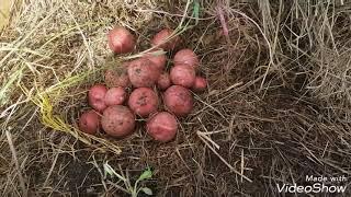 видео Выращивание картофеля под соломой