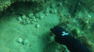 Сбор рапанов в Черном море.  Подводная охота.