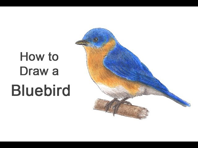 How To Draw A Bluebird Youtube
