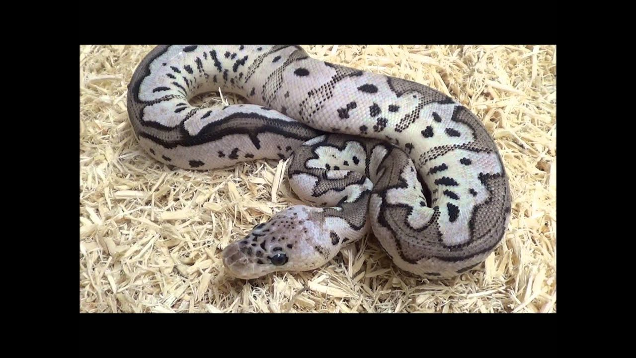 2015 VPI Axanthic Pastel Clown Ball Python - YouTube