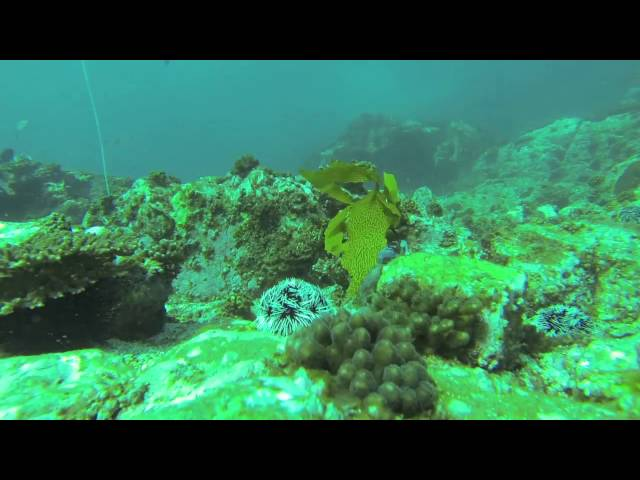 Vergés et al. 2016 PNAS Video S3: Tripneustes gratilla eating transplanted kelp, eastern Australia