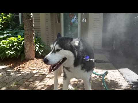 Tip: How to keep your Siberian Husky cool in the summer.