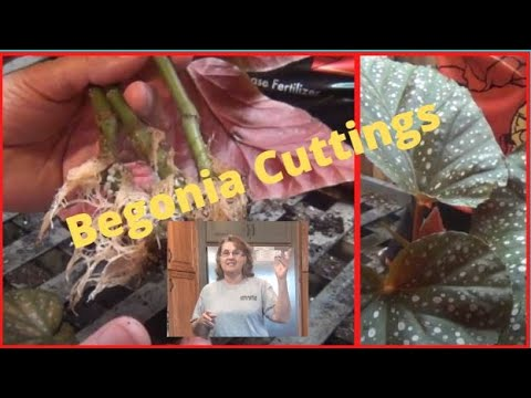 Planting Begonia Cuttings Indoors In Pots