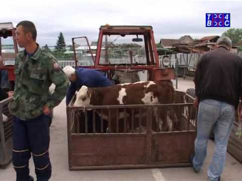 Bojnik, podela osam umaticenih teladi poljoprivrednim proizvodjacima (TV 4S 25.05.2016)