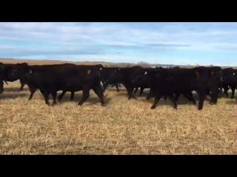 711C193-201 Reg. Angus Bred Heifers for sale in Nebraska
