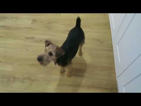 Buddy Lakeland terrier Obedience