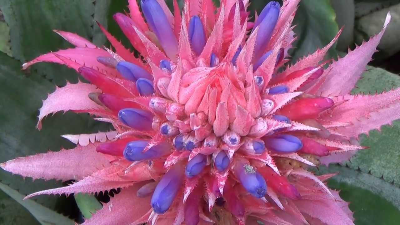 Brom lia aechmea fasciata plantas decorativas f cil for Plantas decorativas hidroponicas