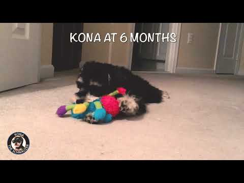 Kona The Schnauzer Puppy from 2 to 6 Months