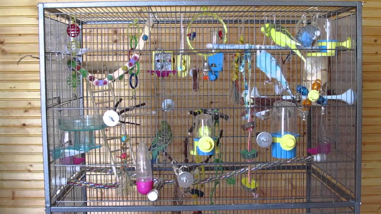 Parakeets fighting over food