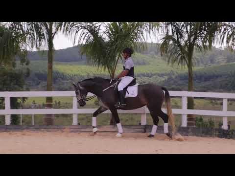 Lote 10 - Núbia DR - Cavalos puro sangue Lusitanos - Coudelaria aguilar