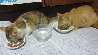 みけちゃん、みかんちゃん、仲良くコメリ「極」を食す。8月16日 thumbnail