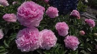 Пион Pink Giant (рассказ Ворошиловой). Май 2018