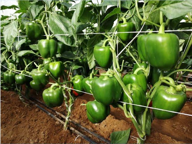 الفيديو الاول لزراعة الفلفل بجميع أنواعه Pepper Cultivation Youtube