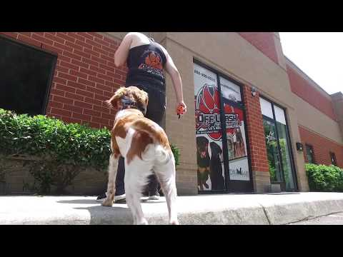 Brittany Spaniel Beauregard l Incredible Obedience l Dog Training Hampton Roads