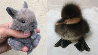 Funny baby animals Videos Compilation Cute moment of the animals