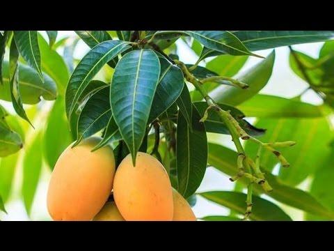 aprende-como-tratar-la-diabetes-con-hojas-de-mango