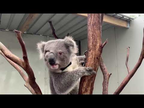 The plight to save Australia's koalas