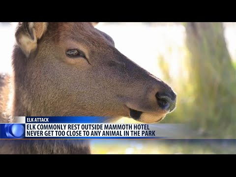 Woman seriously injured by elk in Yellowstone National Park