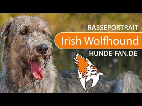 Irish Wolfhound [2019] Rasse, Aussehen & Charakter