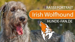 Irish Wolfhound [2019] Breed, Appearance & Character