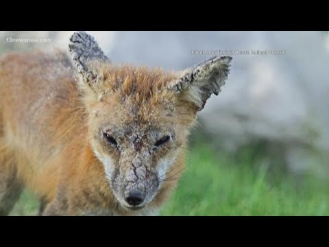 Mangy Foxes Reported In Virginia Beach