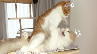 A baby kitten challenged DD for the Top Cat position! (ENG SUB)