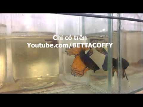 Hướng dẫn dưỡng cá lia thia rách đuôi thối vây | BETTA COFFY