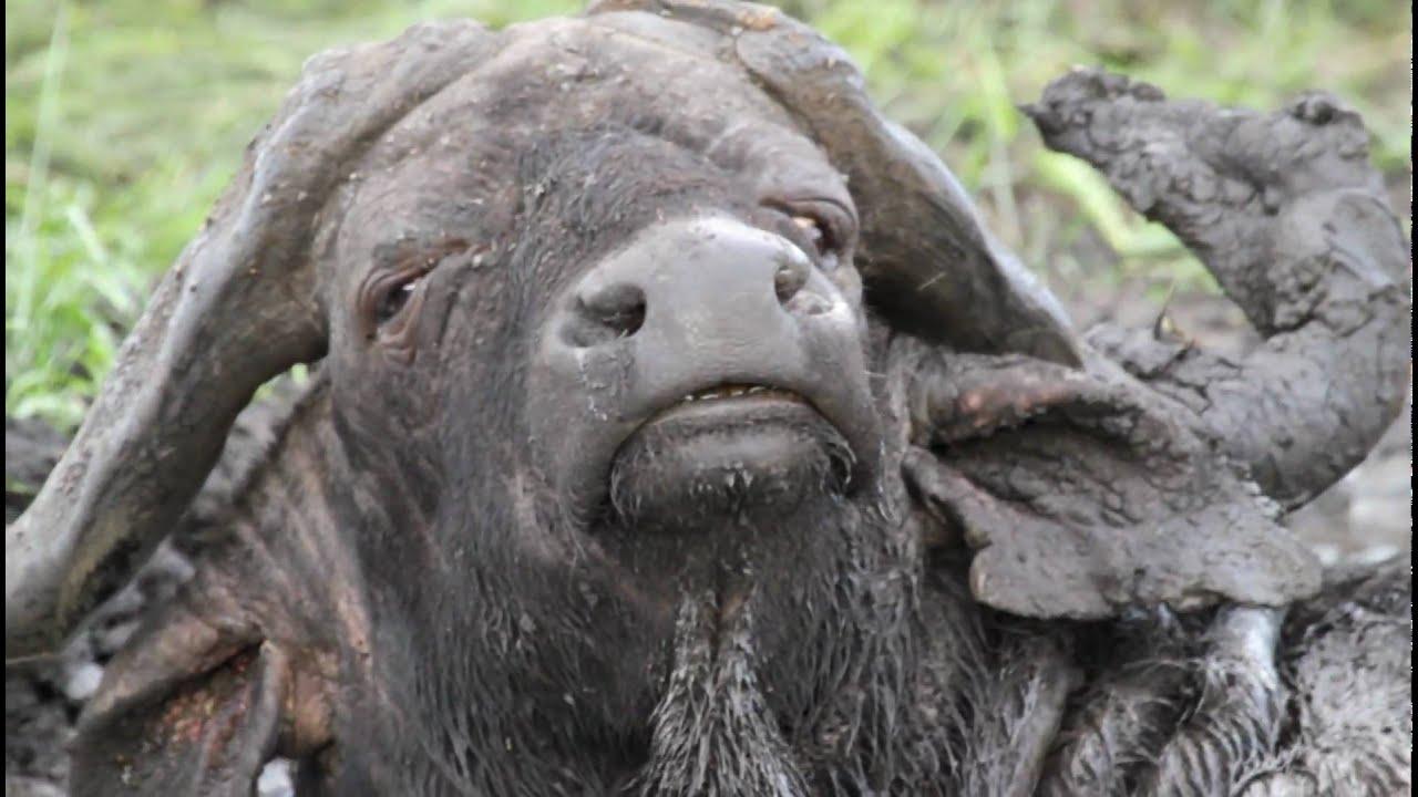 African Big 5, Lion,Leopard,Elephant,Rhino and Buffalo, Facts