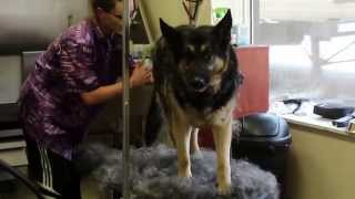 Cuddles The German Shepherd De-shedding Process