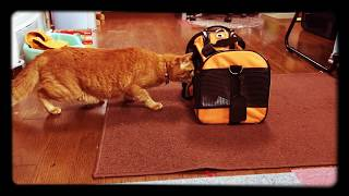 ゆきをもらって、病院で健康診断後わが家へ(^_^)先住猫のきなこと初...