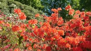 Rhododendron Park Sofiero  #Rhododendron